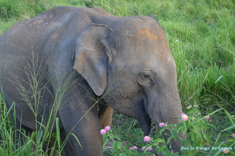 Eléphants safari Sri Lanka