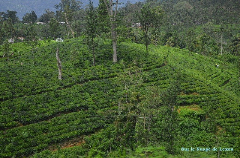 Plantations de thé Sri Lanka