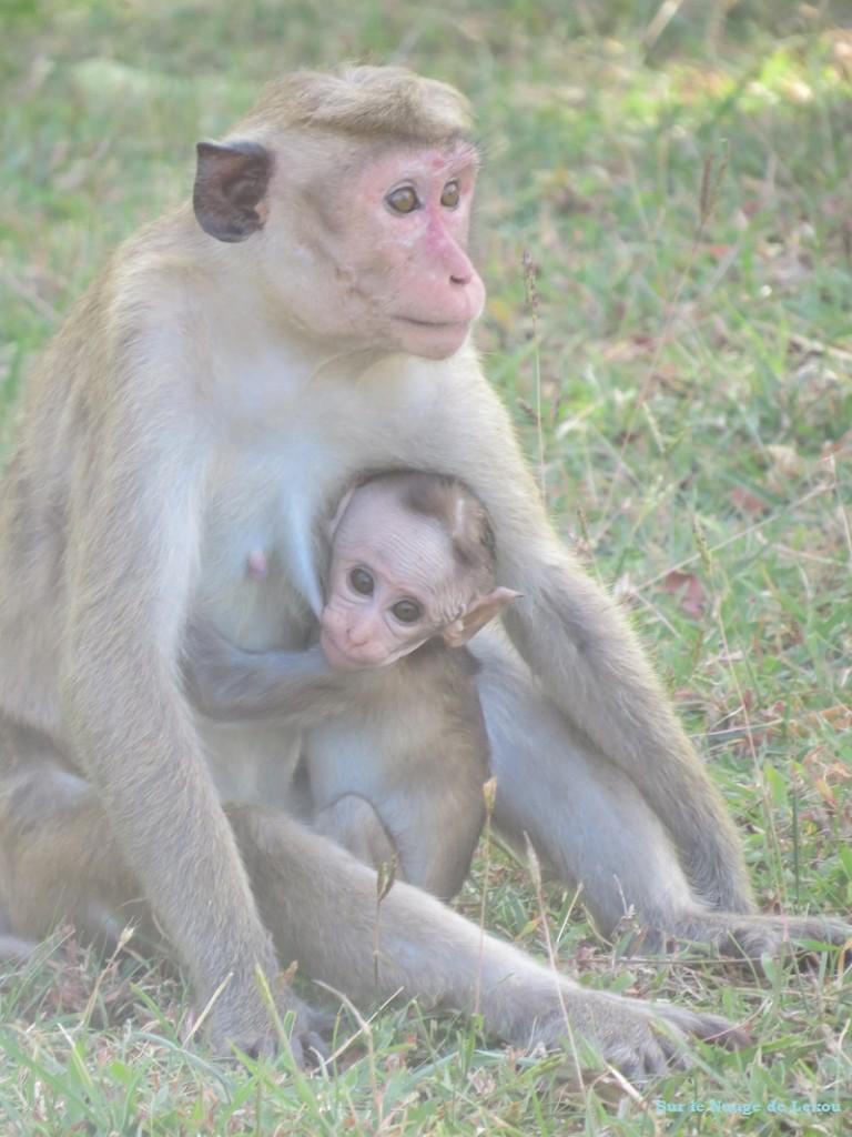 Singes Polonnaruwa