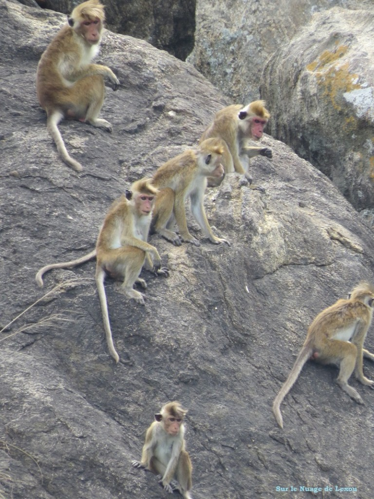 Singes grottes Dambulla