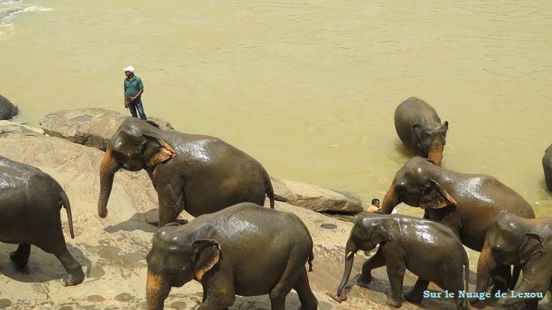 Sortie bain éléphants Sri Lanka