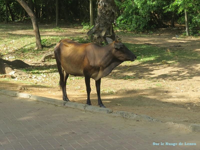 Vache Polonnaruwa